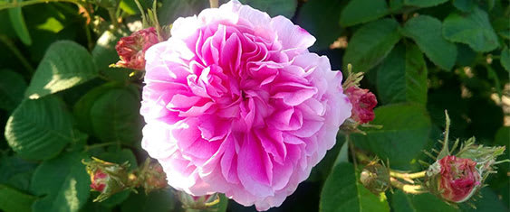 Damask Rose, Skincare Ingredients
